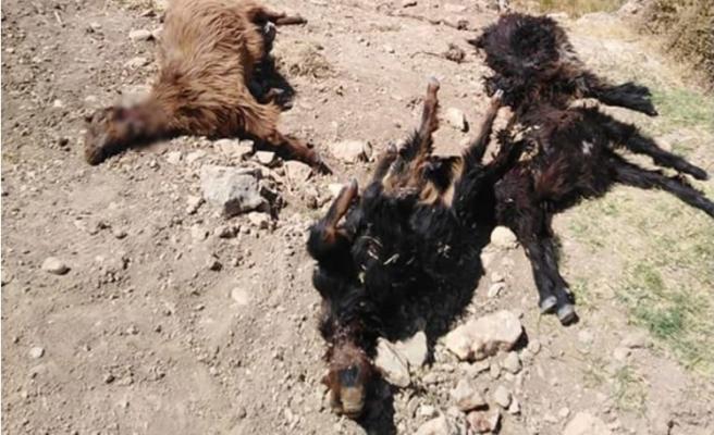 Şanlıurfa'da kurtlar 8 koyunu telef etti