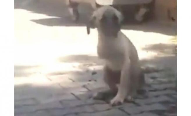 Urfa'da bacağı kesilen köpek, Antep'te tedavi edilecek