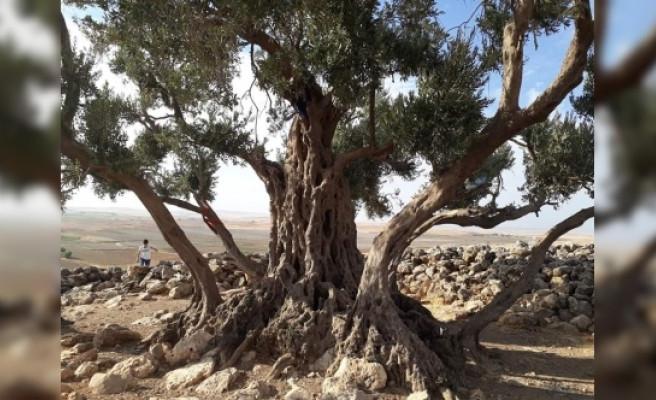 Urfa'daki tarihi zeytin ağacının yaşı belirlendi