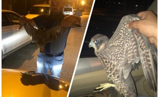 Dünyanın en hızlı kuşu, Urfa'da yakalandı
