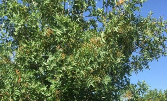 17 yıl önce dikilen ağaçlar, meyve vermeye başladı