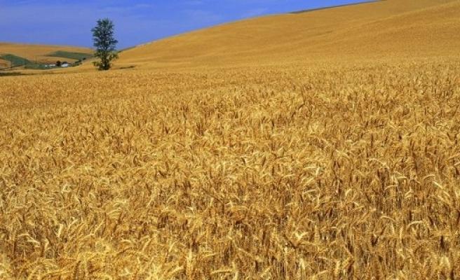Urfa'da buğday ekinleri büyük zarar gördü