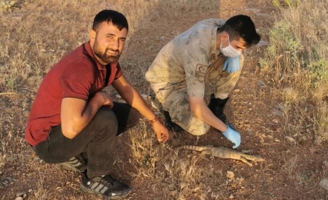 Urfa'da bulunan çöl varanı, doğal alanına bırakıldı