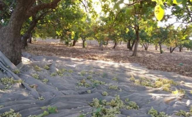 Urfa'da 'yeşil altın' hasadı başladı