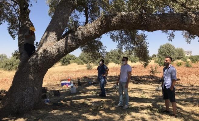 Bölgedeki asırlık ağaçlar Urfalı ekibe emanet!