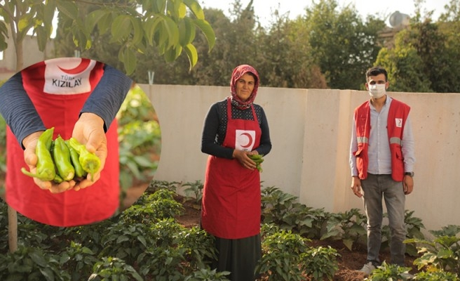 Urfa'da sığınmacılara dağıtılan fidelerde hasat zamanı