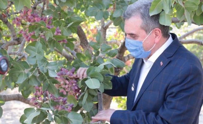 Şanlıurfa'da fıstık şenliği: Hasat başladı