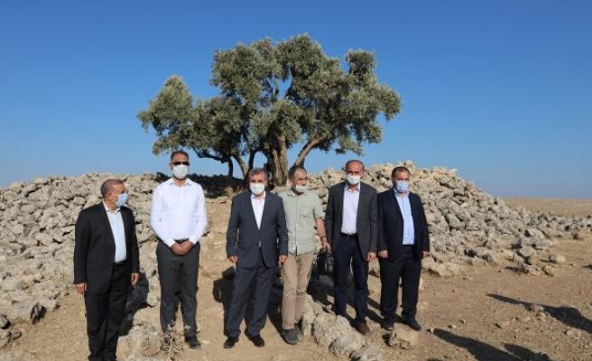 1350 yıllık Cudi Zeytini için Beyazgül'den davet