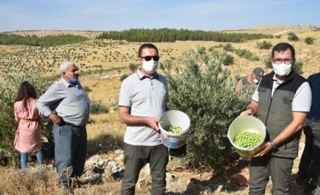 Şanlıurfa'da zeytin hasadı başladı