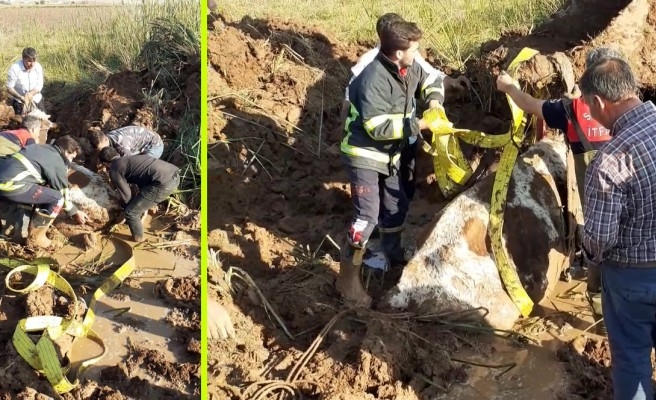 Şanlıurfa'da bataklığa saplanan ineği itfaiye kurtardı