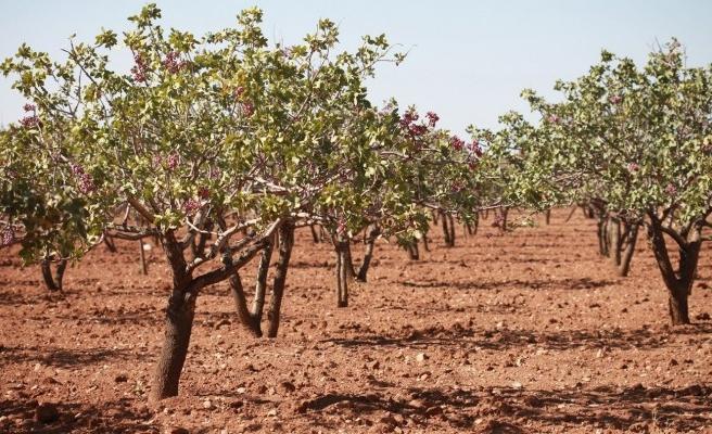 Şanlıurfa fıstık üretiminde rekor kırdı