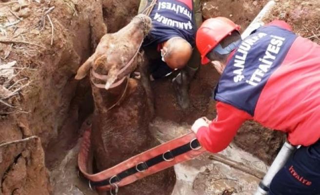 Şanlıurfa'da foseptik çukuruna düşen atı itfaiye kurtardı