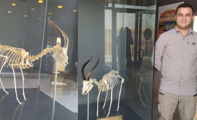Ölü bulunan ceylanın iskeleti ziyarete açıldı