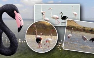 Siyah Flamingo Tekrar Türkiye'de