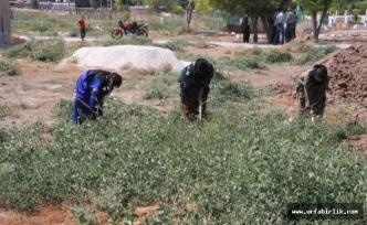 Harran'da Park ve Bahçeler İçin Özenli Temizlik